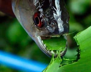 Piranhas bite plant