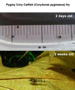 Pygmy Cory Catfish (Corydoras pygmaeus) fry