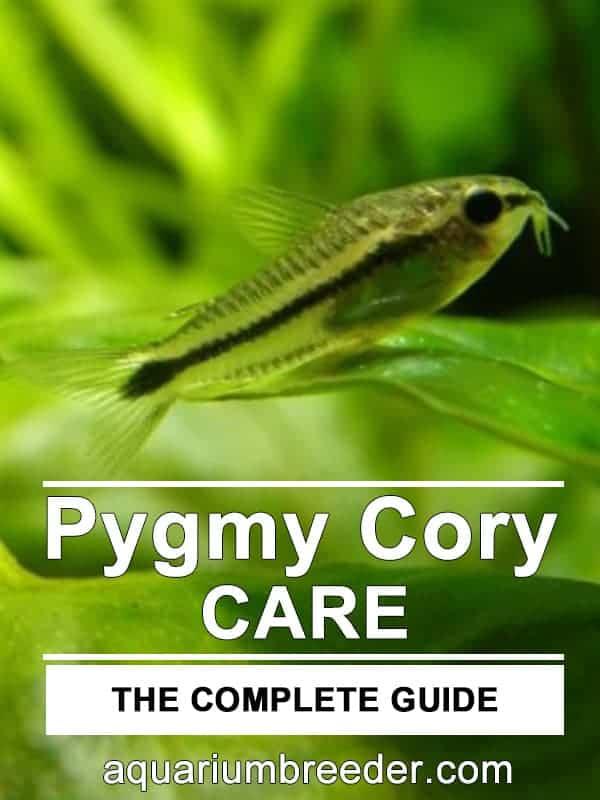 Pygmy Cory Catfish (Corydoras pygmaeus)