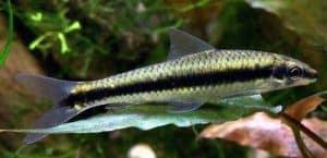 Siamese Algae Eaters (Crossocheilus siamensis)