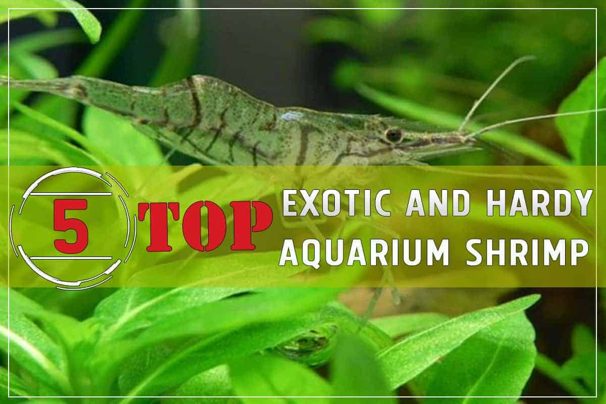Top 5 Exotic and Hardy Aquarium Shrimp pinterest