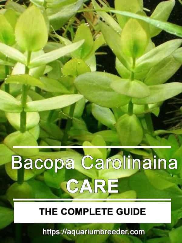 Bacopa carolinaina care guide pinterest