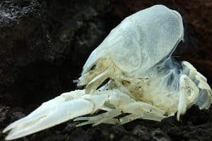 Crayfish and Molting Process