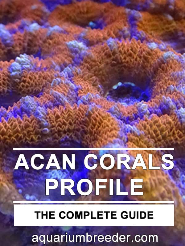 How to Care for Acan Corals or Acans (Micromussa lordhowensis)