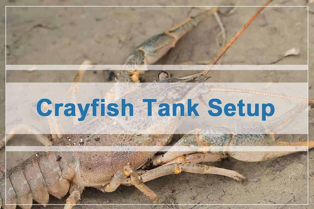 How to Set Up a Crayfish Tank