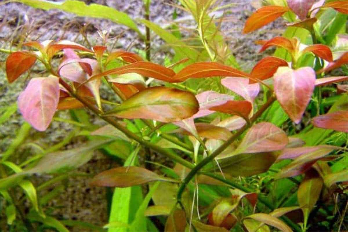 Ludwigia Repens Care Guide – Planting, Growing, and Propagation