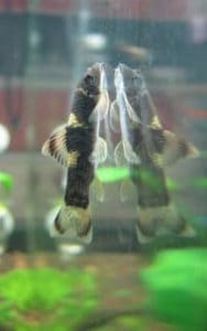 Panda Garra - cleaning tank glass