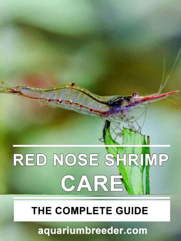Red Nose Shrimp (Caridina gracilirostris) – Detailed Guide Care, Diet, and Breeding