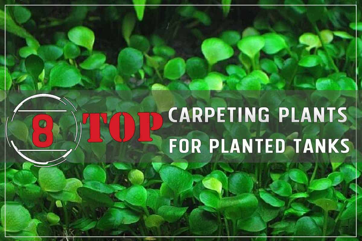 Top 8 Carpeting Plants for Planted Tanks