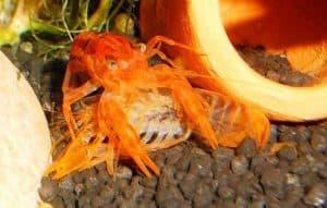 crayfish eats old exoskeleton