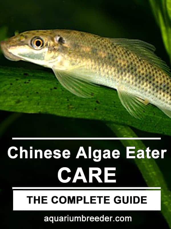 Chinese Algae Eater – Detailed Guide Care, Diet, and Breeding pinterest