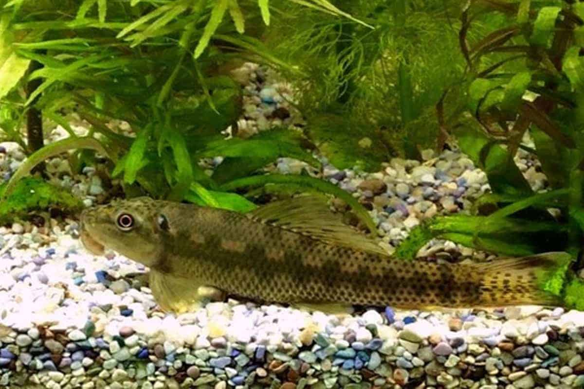 Chinese Algae Eater – Detailed Guide Care, Diet, and Breeding