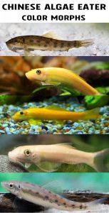 Chinese Algae Eater and different color morphs - wild, gold, albino, marble and leucistic