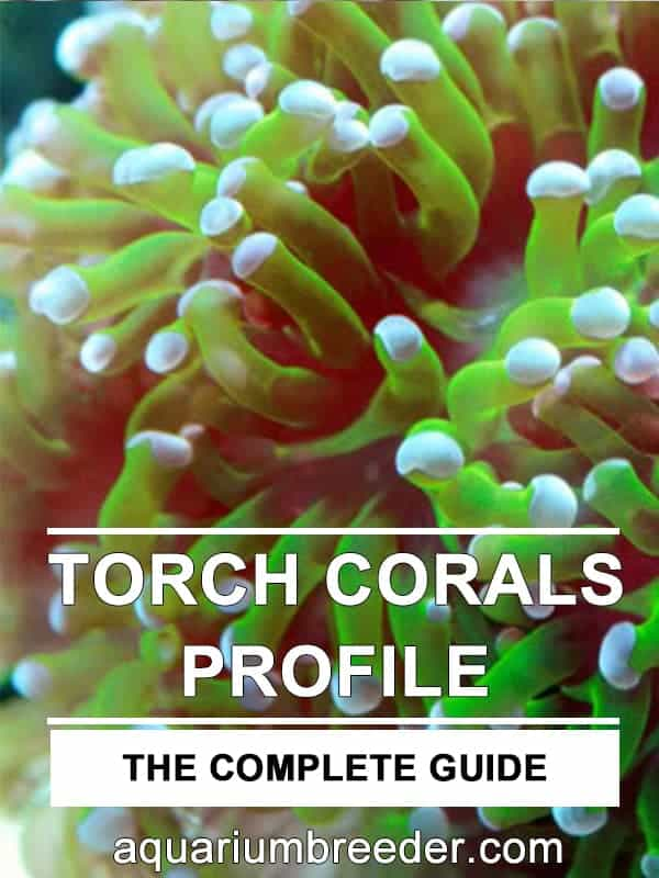 How to Care for Torch Corals (Euphyllia glabrescens) pinterest