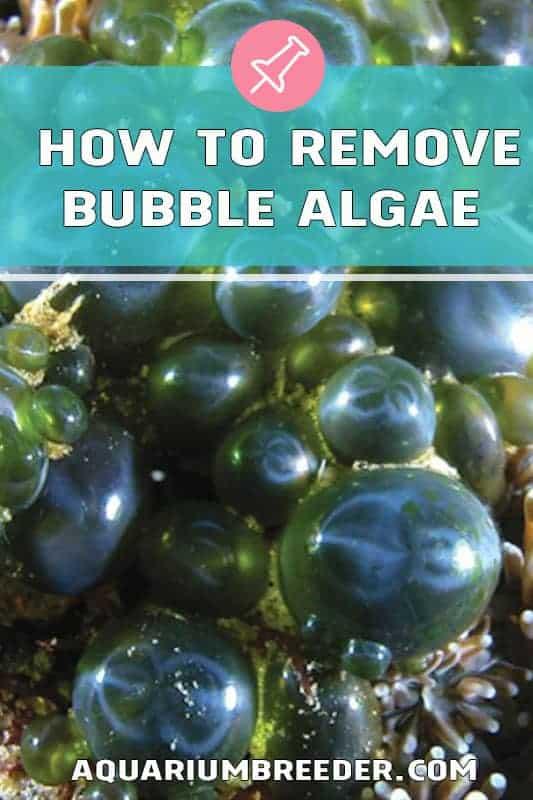 How to Remove Bubble Algae in Saltwater Aquariums