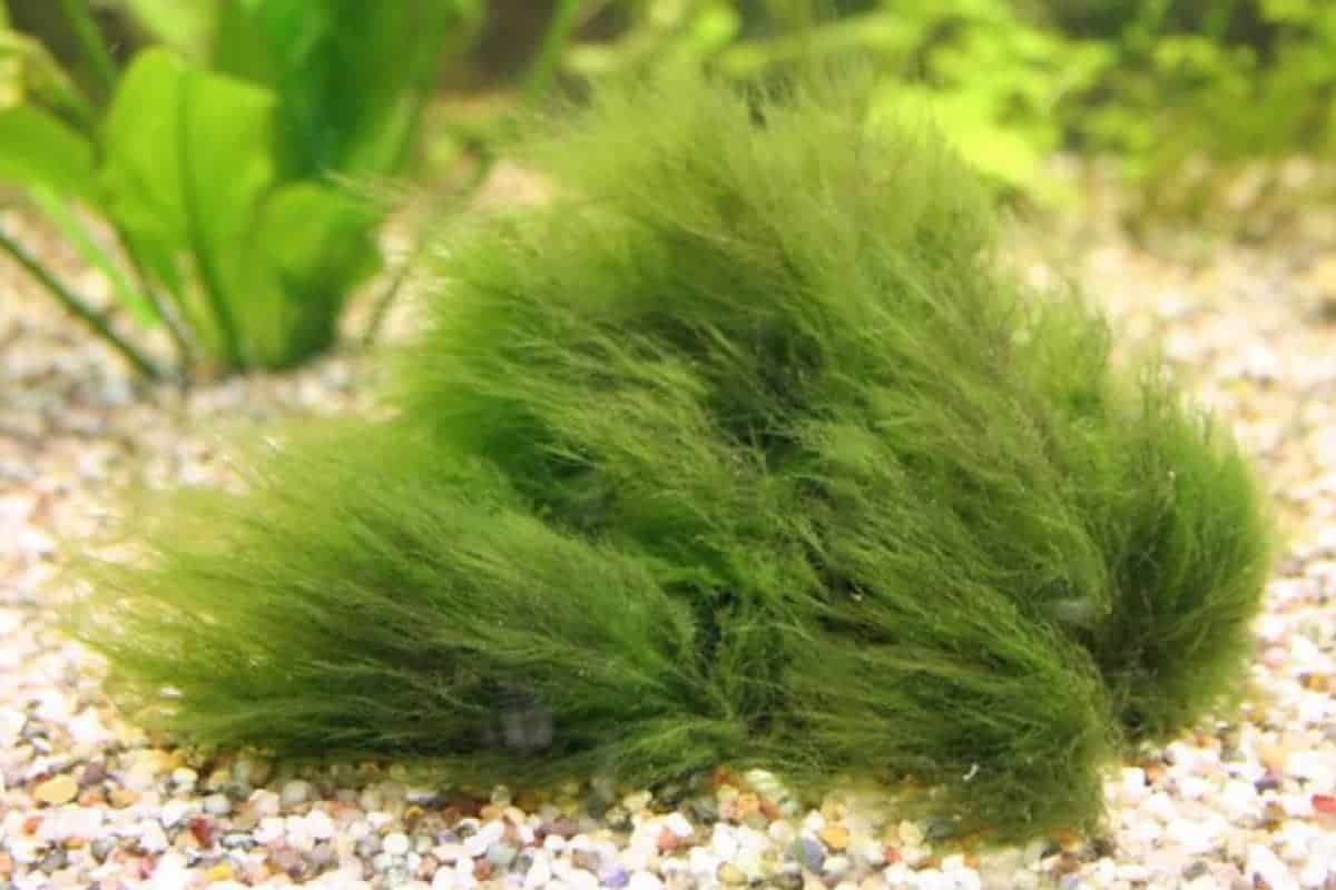 How to Remove Hair Algae in Aquariums