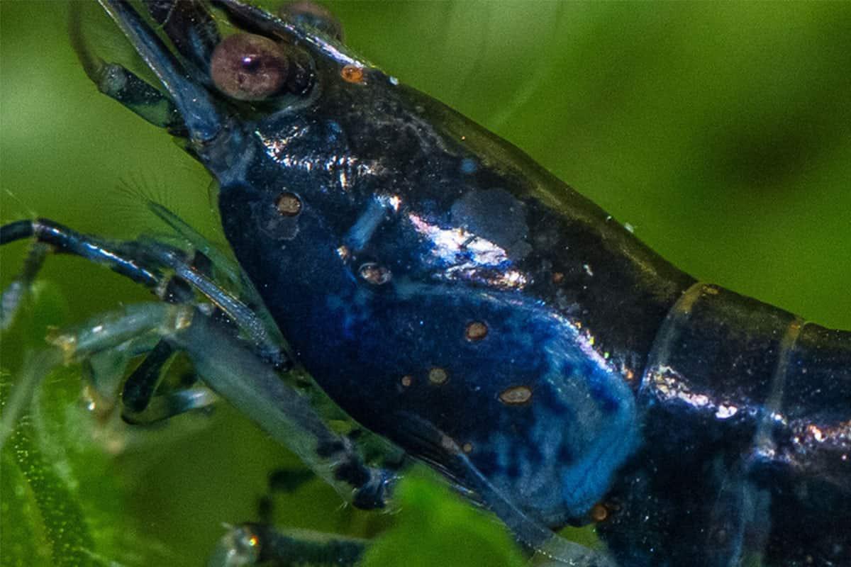 Rust Disease in a Shrimp Tank. Treatment