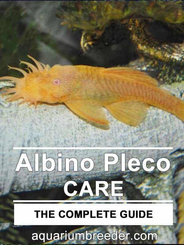 Albino Bristlenose Pleco – Detailed Guide Care, Diet, and Breeding pinterest