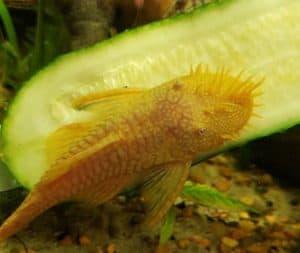 Albino Bristlenose Pleco eats cucumber
