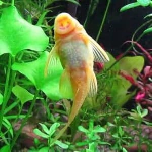 Albino Bristlenose pleco eats algae