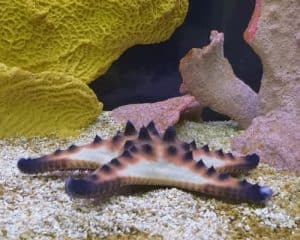 Chocolate Chip Starfish – Detailed Guide Care, Diet, and Breeding