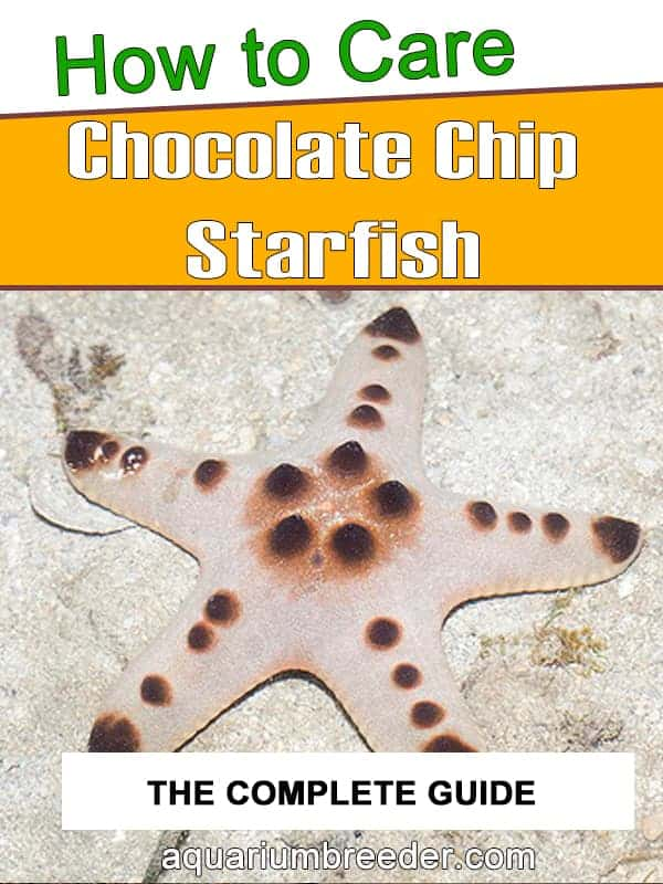 Chocolate Chip Starfish – Detailed Guide Care, Diet, and Breeding pinterest