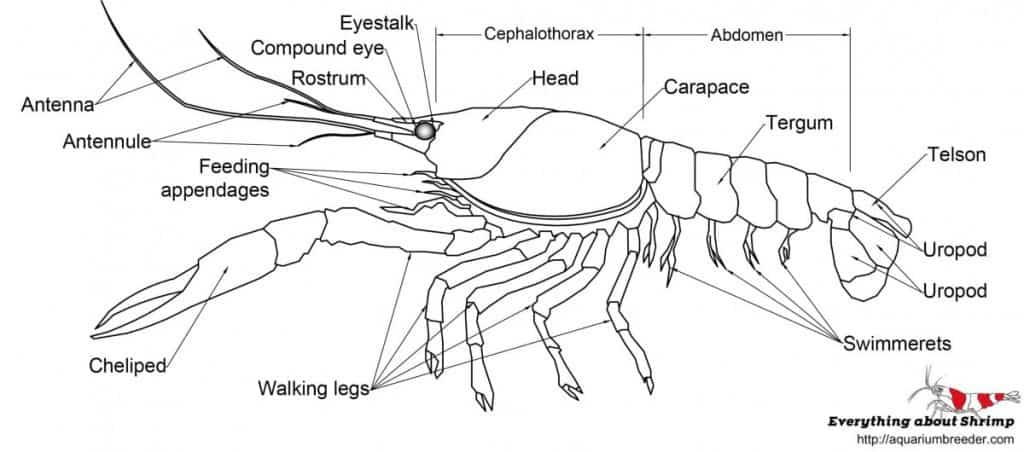 Crayfish External anatomy