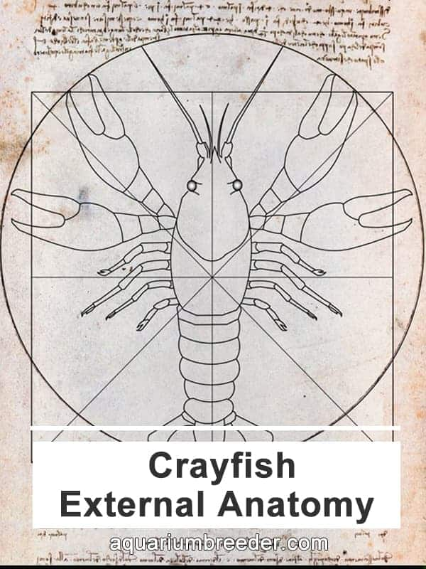 Crayfish anatomy Da Vinci pinterest