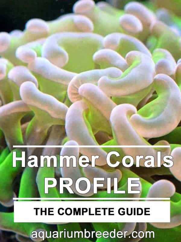 How to Care for Hammer Corals pinterest