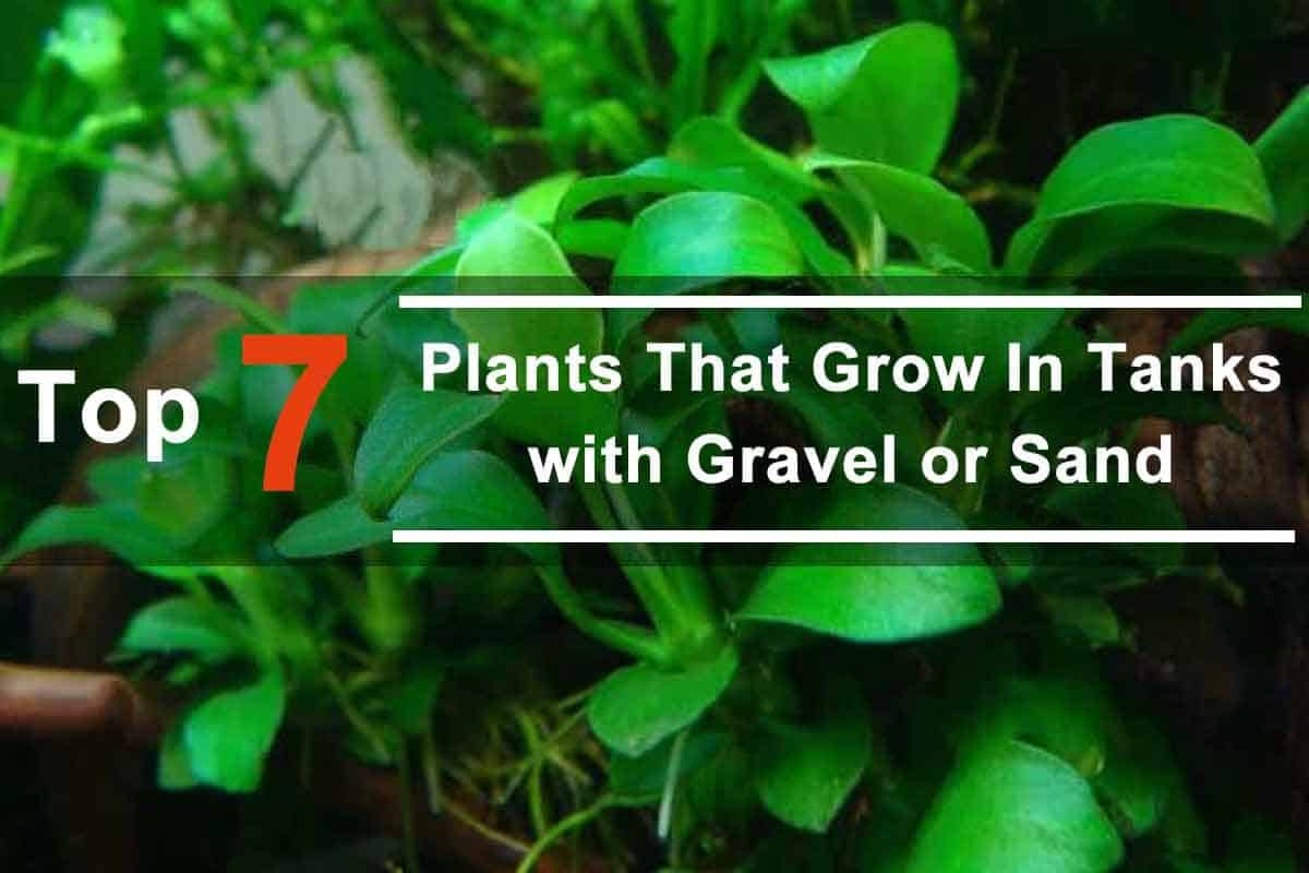 Top 7 Aquarium Plants That Grow Tanks with Gravel or Sand