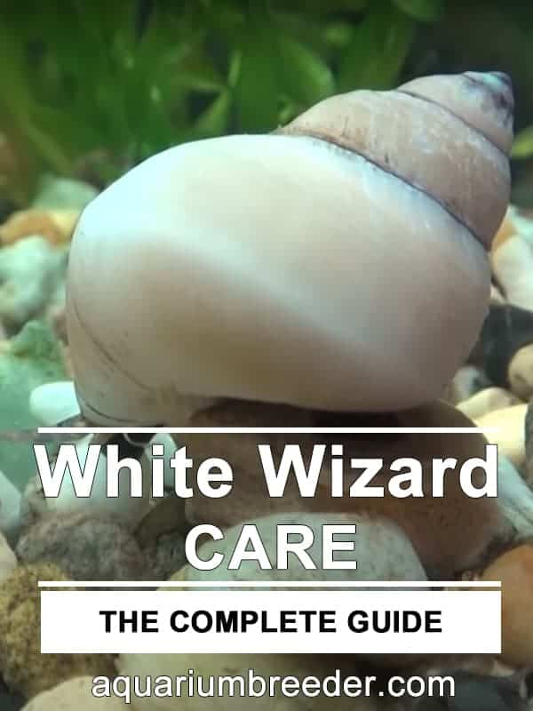 White Wizard Snail (Filopaludina martensi) – Detailed Guide Care, Diet and Breeding pinterest