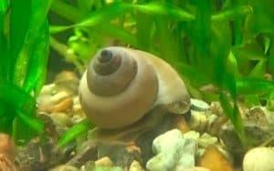 White Wizard Snail (Filopaludina martensi) in planted tank