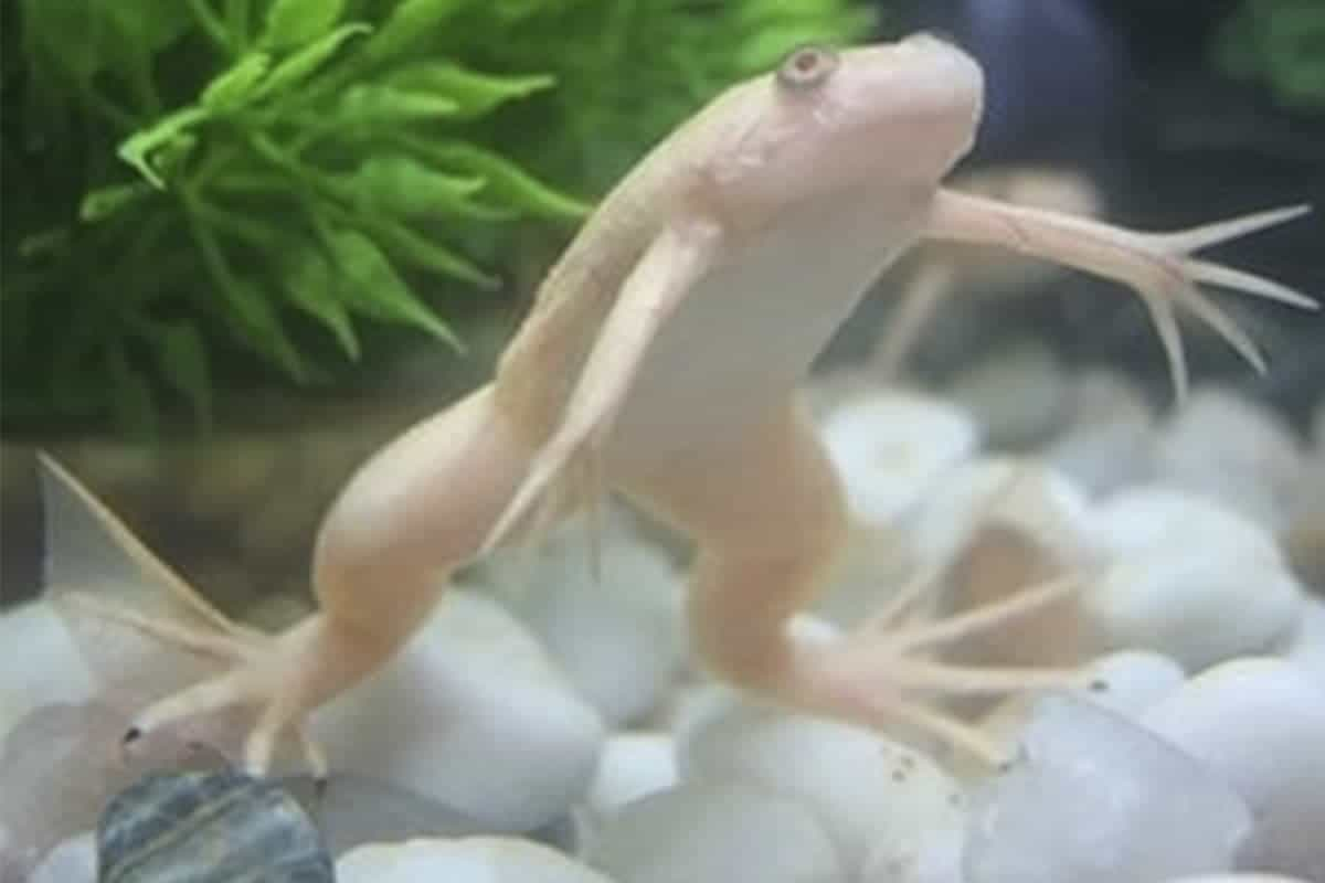 African Clawed Frog - – Detailed Guide Care, Diet, and Breeding