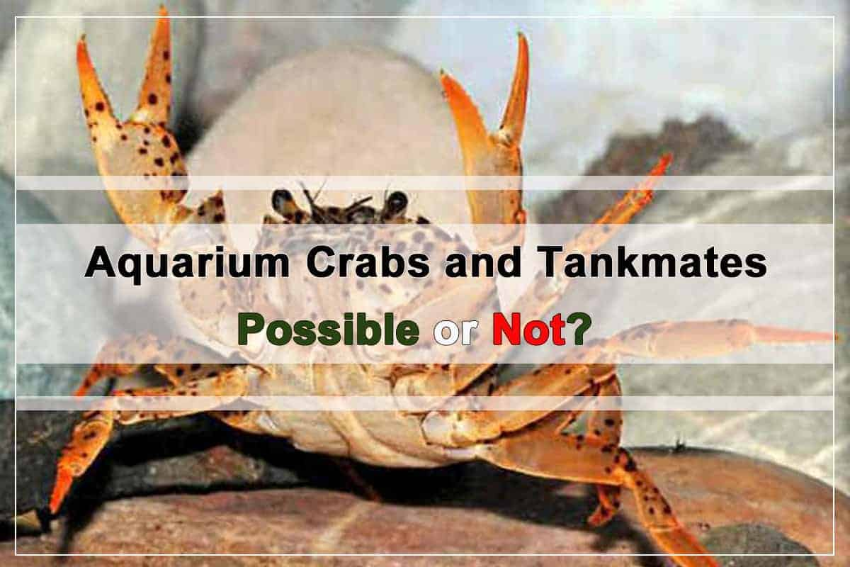 Aquarium Crabs and Tankmates. Possible or not