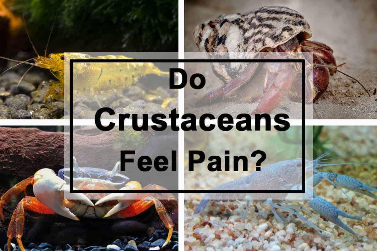 Do Crabs, Crayfish or Shrimp Feel Pain