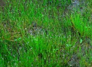 Dwarf Hairgrass - Dry Start Method