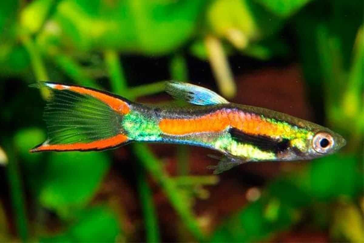 Endlers – Detailed Guide Care, Diet, and Breeding