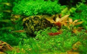 Endler's livebearers and dwarf shrimp