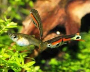 Endler's livebearers male and female deferences