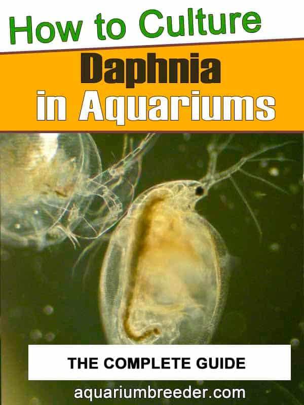 How to Culture Daphnia in Aquariums pintarest