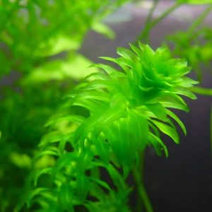 Anacharis (Egeria densa) Care Guide – Planting, Growing, and Propagation