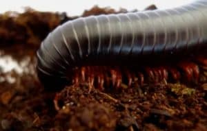 Giant African Millipede Archispirostreptus gigas as a pet