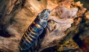 Madagascar hissing cockroach Gromphadorhina portentosa as a pet