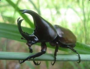 The brown rhinoceros beetle (Xylotrupes Gideon) as a pet
