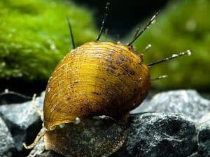 Hairy Snail (Thiara cancellata) – Detailed Guide Care, Diet, and Breeding