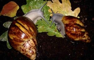 Archachatina Marginata – Detailed Guide Care, Diet and Breeding feeding
