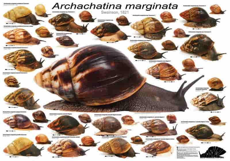 Archachatina Marginata – Detailed Guide Care, Diet and Breeding subspecies