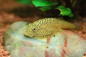Butterfly Hillstream Loach – Detailed Guide Care, Diet, and Breeding resting