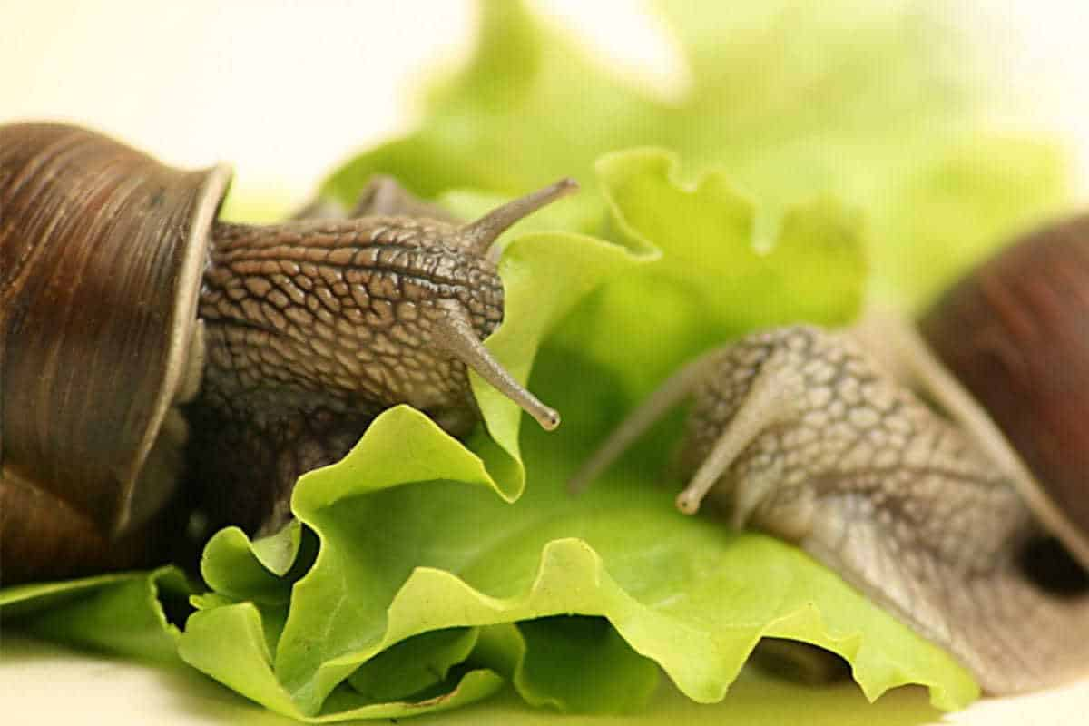 Feeding Guide for African Giant Land Snails