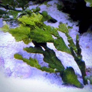 How To Grow Marine Macroalgae Halimeda